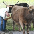 Brush a Cow